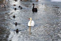 De zwanen en de eenden zwemmen in de vijver Stock Afbeeldingen