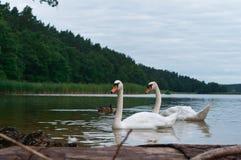 De zwanen kwamen op kust, de zwanen op het meer, watervogels in natuurlijke voorwaarden stock afbeeldingen
