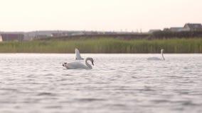 De zwanen ontspant in het meer stock footage