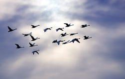 De Zwanen van de toendra tijdens de vlucht Royalty-vrije Stock Foto