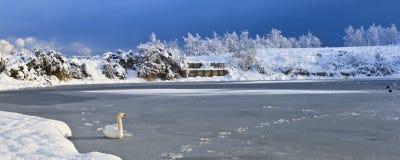 De Zwanen van de winter Stock Afbeeldingen