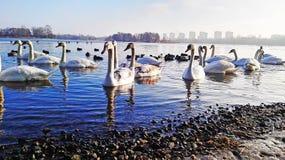 De zwanen vonden een stuk van de lente in de winter royalty-vrije stock foto's