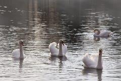 De zwanen zwemmen in de vijver mist Stock Afbeelding