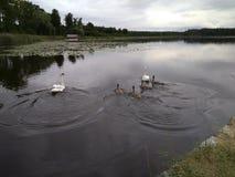 De zwanen zwemmen in het meer onder de avond donkere hemel royalty-vrije stock fotografie