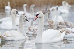 De zwanen zwemmen op het meer Royalty-vrije Stock Afbeelding