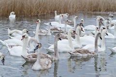 De zwanen zwemmen op het meer Stock Afbeelding