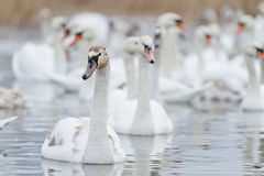 De zwanen zwemmen op het meer Stock Foto's