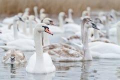 De zwanen zwemmen op het meer Royalty-vrije Stock Foto