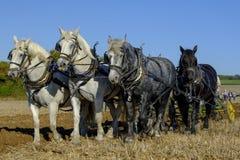 De zware Paarden die de concurrentie bij SCHHA - Zware jaarlijkse het Paardvereniging ploegen van de Zuidenkust - tonen dichtbij  royalty-vrije stock fotografie