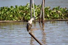 De zwart-bekroonde vogel die van de nachtreiger op de bovenkant van droog bamboe in de rivier neerstrijken royalty-vrije stock afbeelding