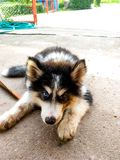 De zwart-haired jonge hond heeft 2 ogen, één blauw, de andere zwarte royalty-vrije stock fotografie