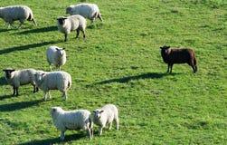 de zwart schapen stock afbeeldingen