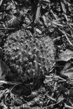 De zwart-wit kegel van het Giftige paddestoelenmos, forerst gemalen royalty-vrije stock foto