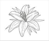 De zwart-wit vectorillustratie van de leliebloem Mooie die tijger lilly op witte achtergrond wordt geïsoleerd Element voor ontwer royalty-vrije illustratie