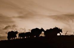 De zwart-witte bizon Royalty-vrije Stock Foto's