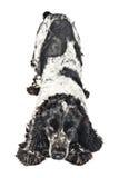 De zwart-witte Engelse cocker-spaniël van Playfull royalty-vrije stock foto's