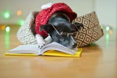 De zwart-witte hond bespectacled en in een rendier zette het kostuum poten op het open boek Royalty-vrije Stock Foto's