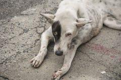 De zwart-witte hond zit stock foto's