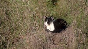 De zwart-witte kat ligt in droog gras Binnenlands kattenhuisdier stock video