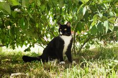 De zwart-witte kat met gele ogen zit op een gras in een park Stock Afbeeldingen
