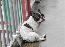De zwart-witte kleur van de pug hond zit op de cement natte vloer na de regen en het Bekijken uw camera, Leuke en Kleine hond stock foto