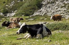 De zwart-witte koe zit in het gras Royalty-vrije Stock Foto
