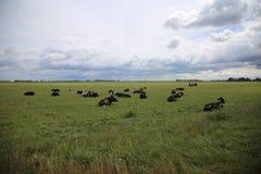 De zwart-witte koeien liggen op het groene gras in de herfst stock afbeeldingen