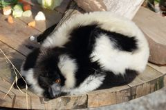 De zwart-witte Ruffed-Maki ontspant stock afbeelding
