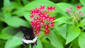 De zwart-witte vlinder van Helen op rode Ixora stock videobeelden
