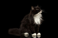 De zwart-witte Zwarte van Cat Looking omhoog royalty-vrije stock afbeeldingen