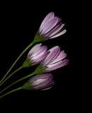 De zwarte achtergrond van de bloem royalty-vrije stock afbeelding