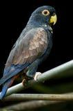 De zwarte achtergrond van de papegaai Stock Afbeeldingen