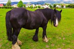 De zwarte akazigeuner Vanner van het Zigeunerpaard of de Ierse Maïskolf weiden op pastur stock fotografie