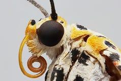 De zwarte bevlekte een vlinder macrofoto royalty-vrije stock foto