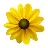 De zwarte bloem Eyed van Susan (Rudbeckia Hirta) Stock Afbeelding