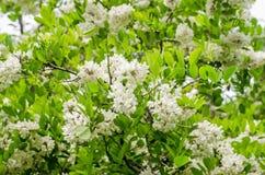 De zwarte bloemen van de sprinkhanenboom Stock Afbeeldingen