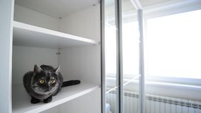 De zwarte Britse kat zit in een wit kabinet stock footage