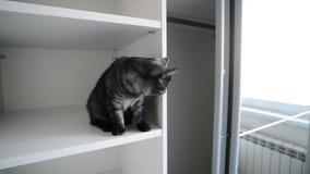 De zwarte Britse kat zit in een wit kabinet stock video