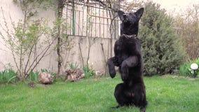 De zwarte Duitse herders, zit op zijn achterste benen stock footage