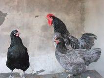 De zwarte en blauwe Reuzecottrell Haan en de kippen van Jersey Stock Afbeeldingen