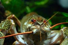 De zwarte en rode ogen van de close-up van rivierkanker Stock Fotografie
