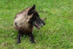 De zwarte Fase Grey Wolf (Canis-wolfszweer) ligt in Gras net Kijkend Stock Foto's