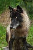 De zwarte Fase Grey Wolf (Canis-wolfszweer) zit Linker het Kijken Royalty-vrije Stock Fotografie