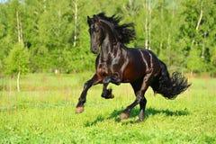 De zwarte Friesian galop van de paardlooppas in vrijheid Stock Afbeelding