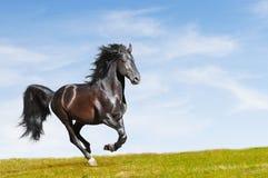 De zwarte galop van de paardsport op vrijheid stock afbeeldingen
