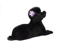 De zwarte Geïsoleerdet Poedel van het Stuk speelgoed Stock Fotografie