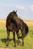 De zwarte hengst van Trakehner Stock Fotografie