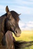 De zwarte hengst van Trakehner Royalty-vrije Stock Foto's