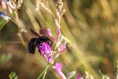 De zwarte hommelzitting op een bloem verzamelt stuifmeel stock fotografie