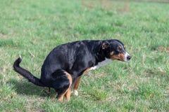 De zwarte hond die op grasveld, Appenzeller-Berghond pooing royalty-vrije stock afbeeldingen